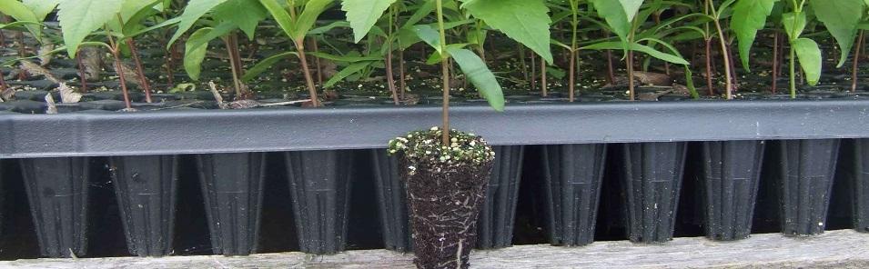 Konusni oblik - pravilno razvijen korjenov sistem